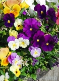 purplepansies_web