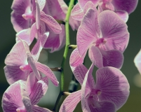 orchids2011.20