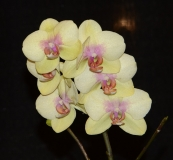 yellow-2011-orchid