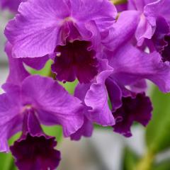orchids2016_37