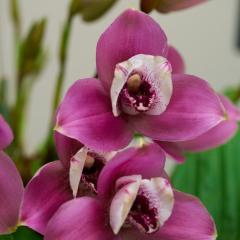 orchids2016_8