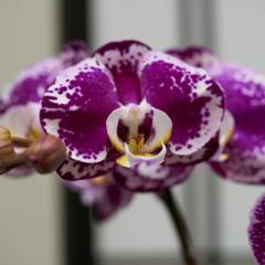 orchids2016_20