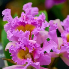orchids2016_4