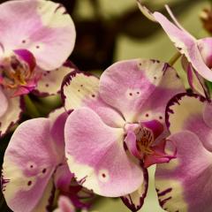 orchids2016_43
