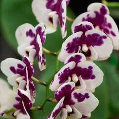 orchids2016_46
